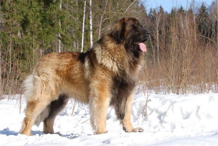 Замечательные породы собак, о которых мы никогда не слышали