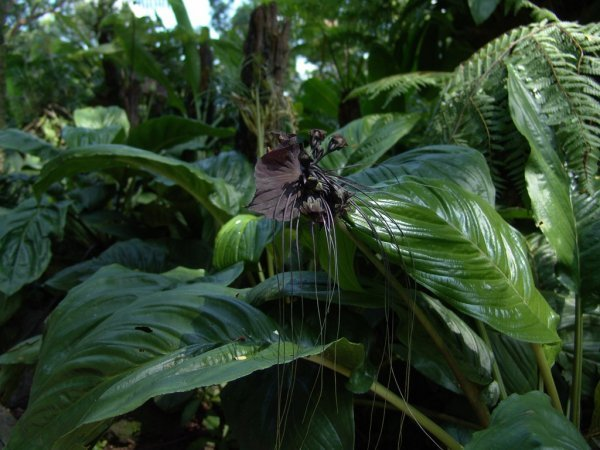 Экзотический цветок такка