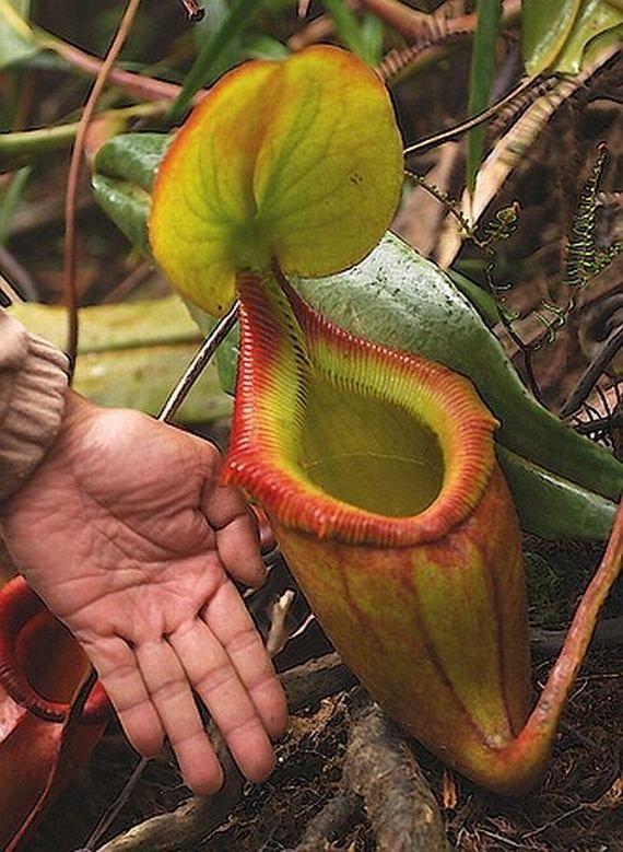 Хищные цветы, которые едят насекомых