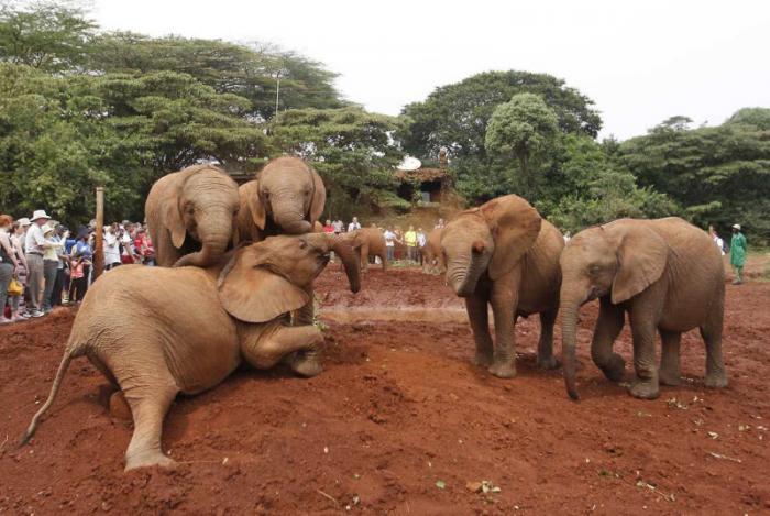 Слонят-сирот принимает приют в Африке