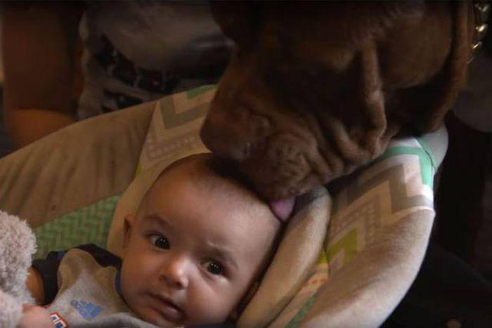 Самый большой в мире питбуль стал няней для малыша