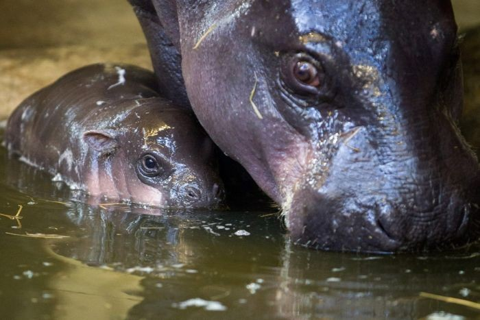 В зоопарке Бристоля появился детеныш карликового бегемота