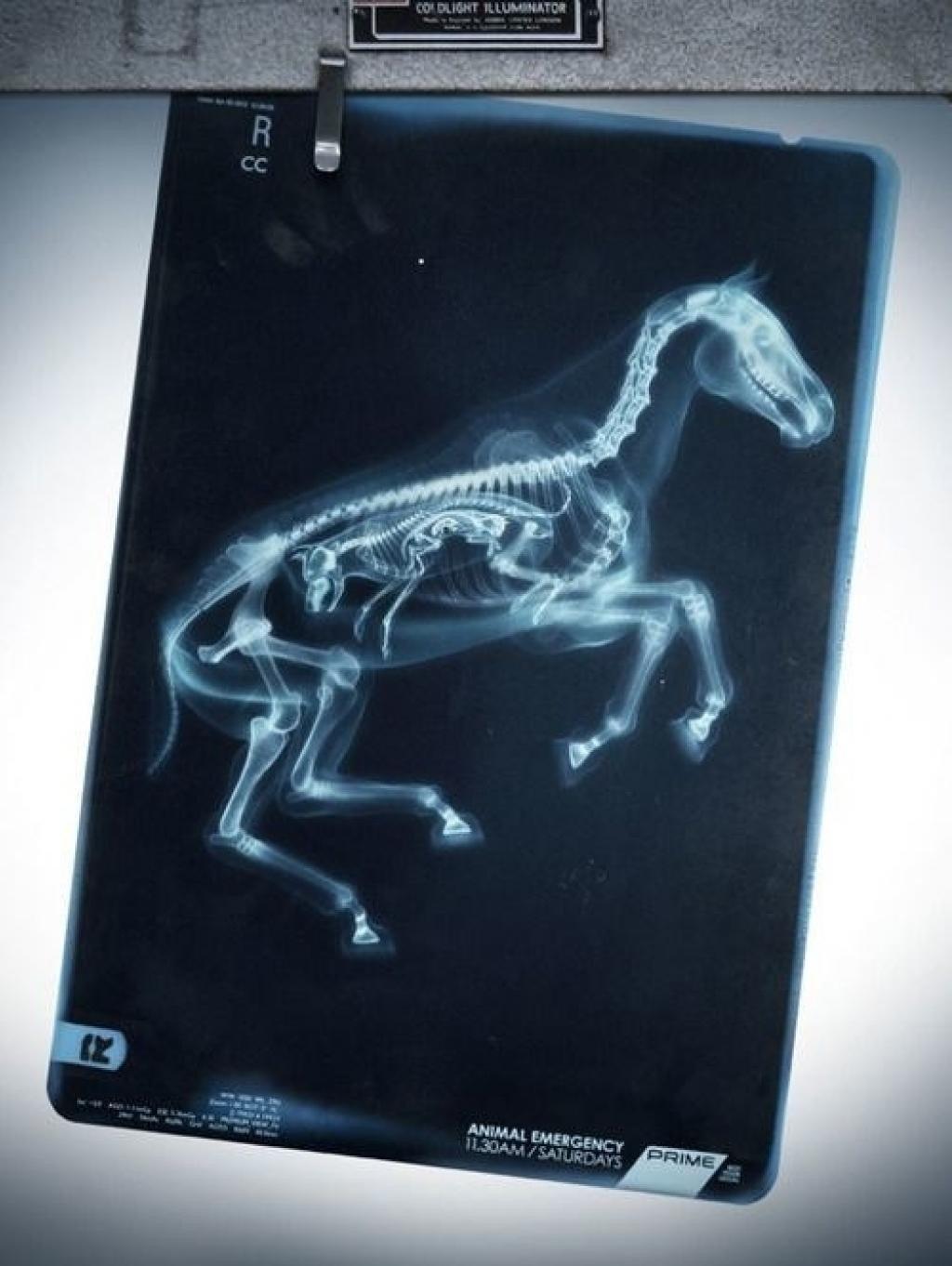 Как выглядят беременные животные под рентгеном