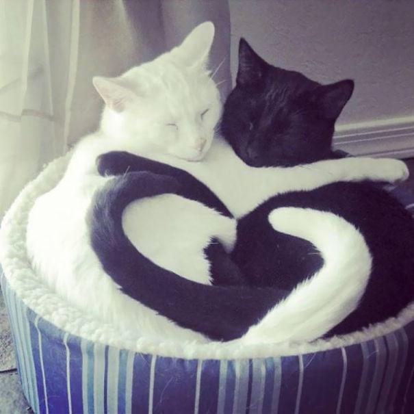 Кошки инь и ян: черные и белые они кажутся одним целым