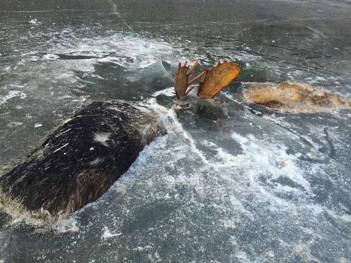 Сцепившиеся рогами лоси вмерзли в лед реки