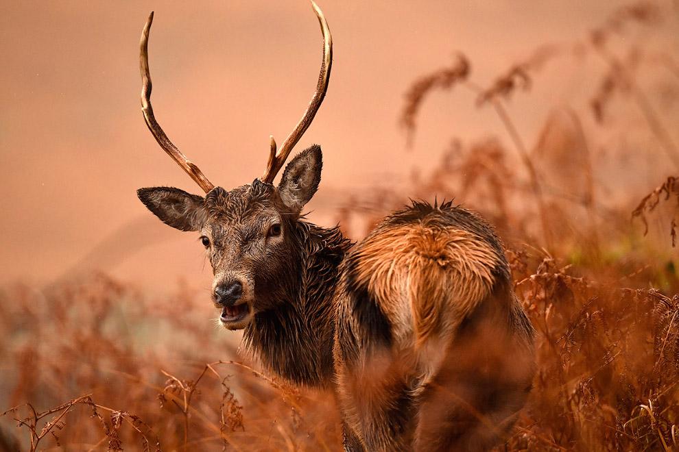Благородные олени из Шотландии
