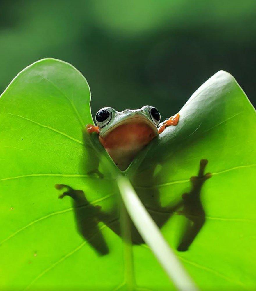 Индонезийский фотограф Tanto Yensen снял лягушек по-новому