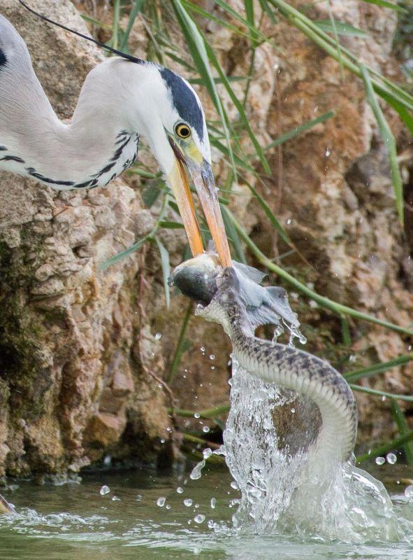 Как цапля со змеей рыбу делили