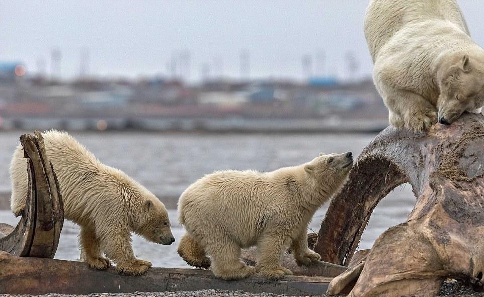 Белый медведь застрял головой в костях кита