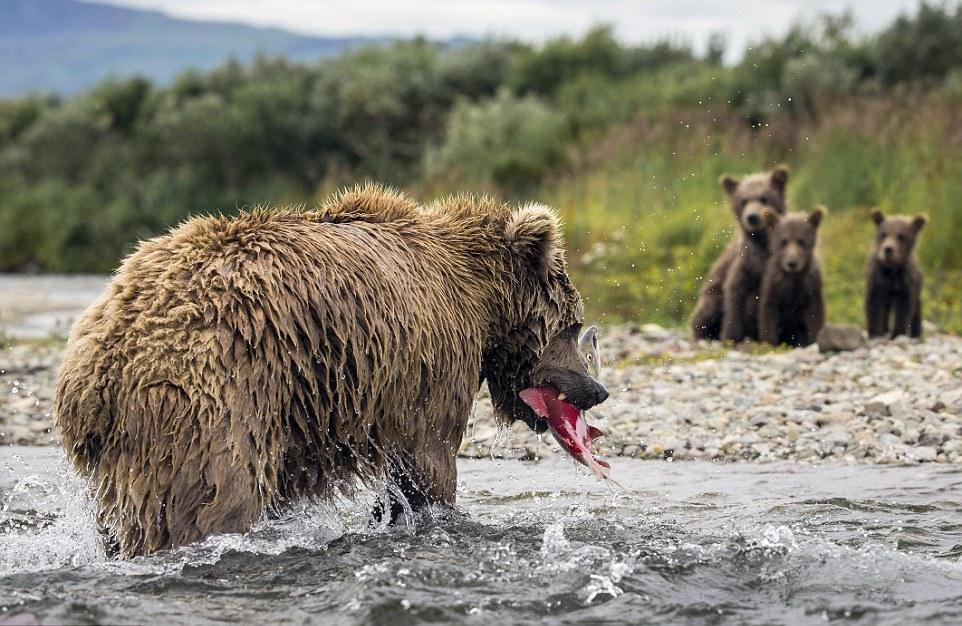 Медведица охотится на лосося и кормит медвежат