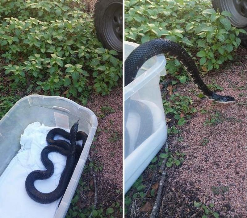 Змея проглотила дверную ручку, приняв её за яйцо
