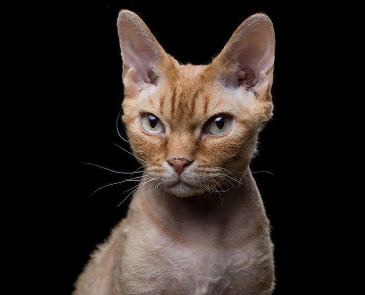 Портреты кошек от фотографа Robert Bahou