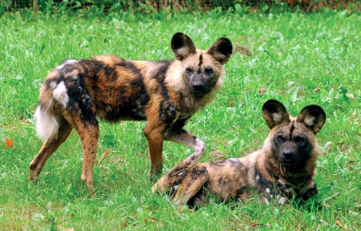 Самые красивые представители семейства собачьих