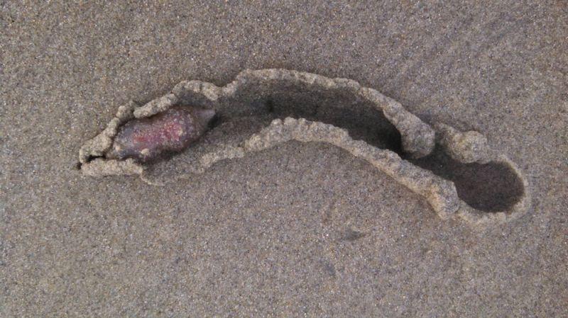 Тысячи загадочных существ выползли на пляж Калифорнии