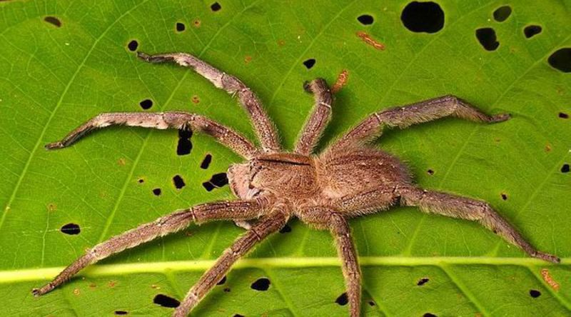 Интересности о гигантских пауках