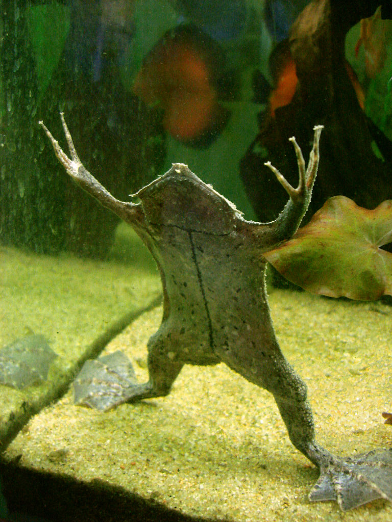 Суринамская пипа: если жабу переехать катком
