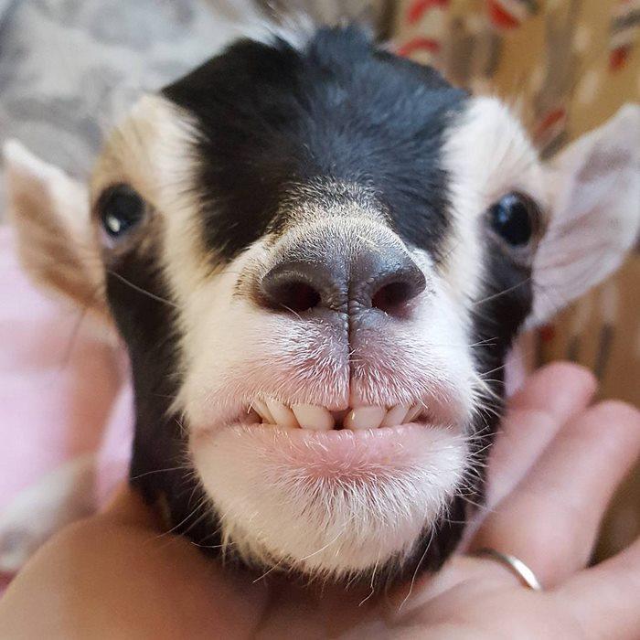Женщина бросила работу в городе, чтобы растить осиротевших козлят