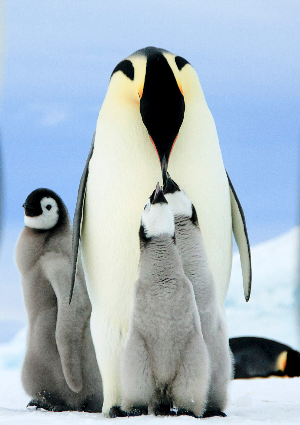 Императорские пингвины