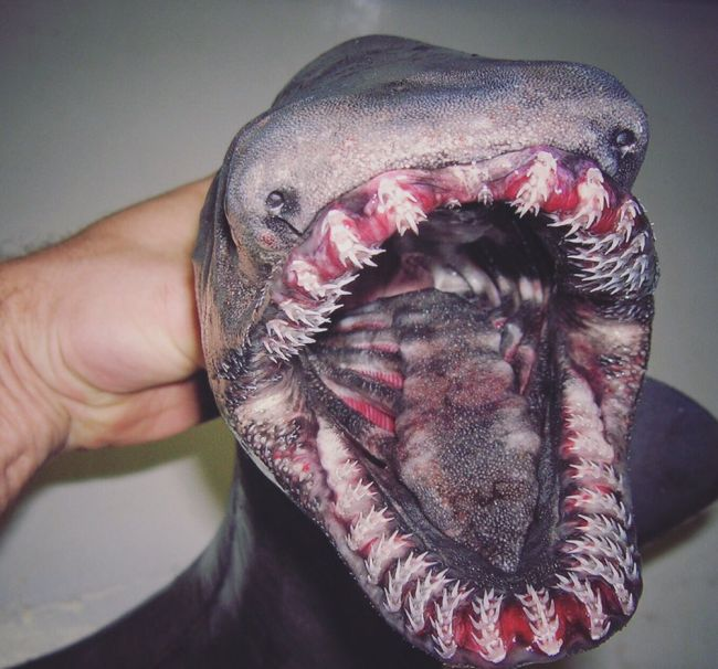 Фотографии редких глубоководных рыб от мурманского моряка