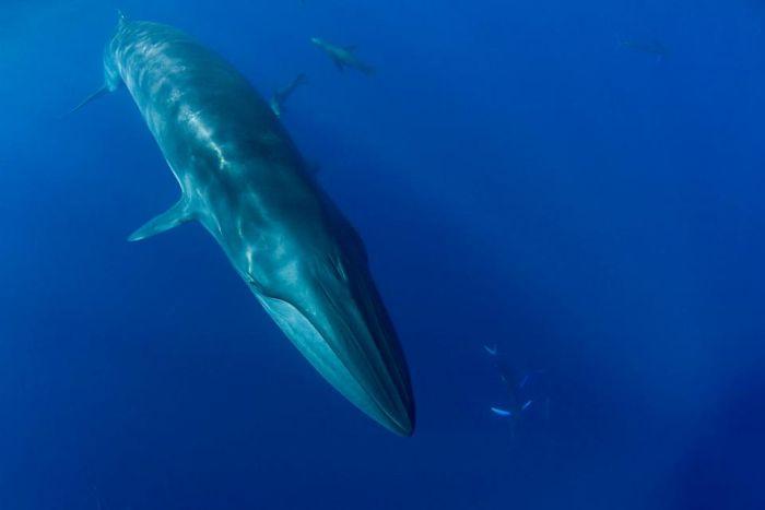Дайвер едва чуть попал в пасть киту