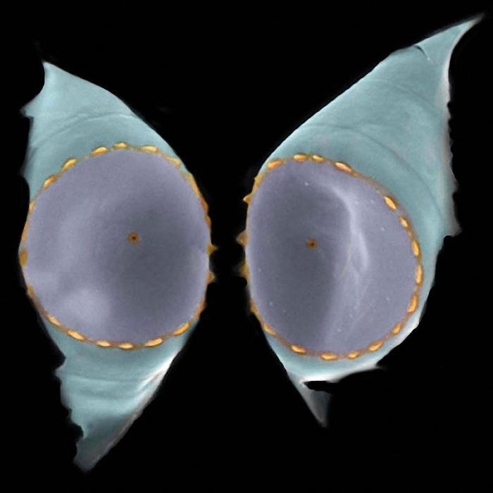 Диатомовые водоросли на удивительных снимках