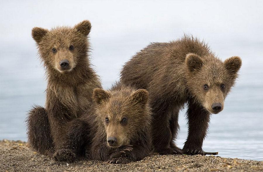 Суровое обаяние медведей от фотографа Сергея Иванова