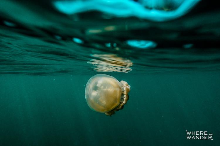 Фотограф поплавал в окружении миллионов медуз