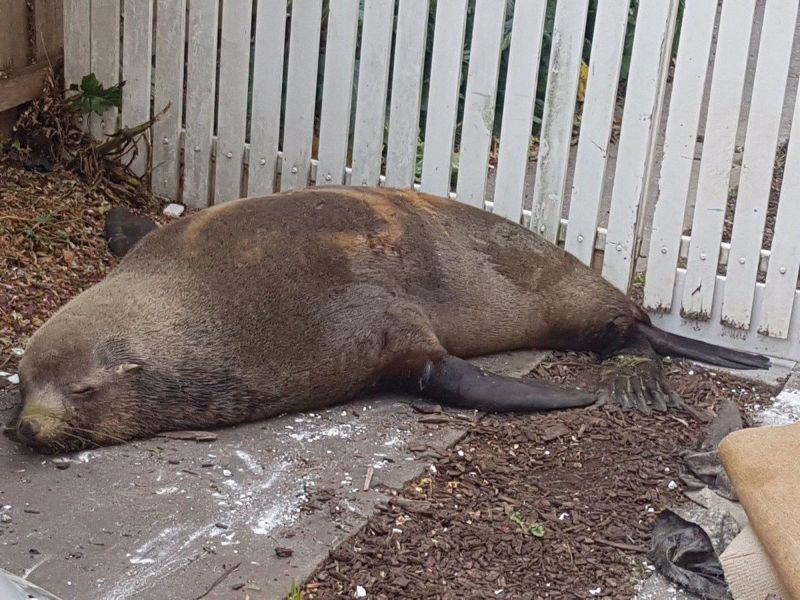 Тюлень прилег на автомобиль в Австралии