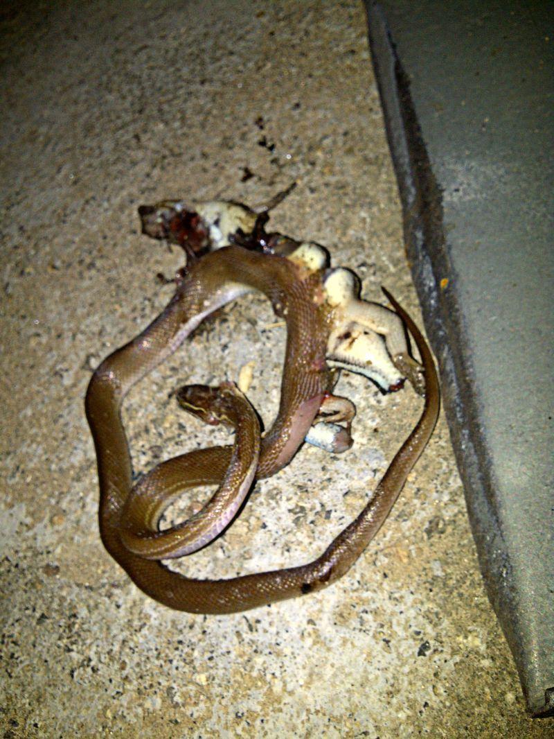 Змея проглотила ящерицу, но погибли обе