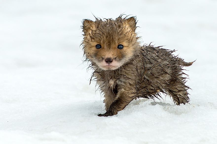 Зимние фотографии невероятно милых лис