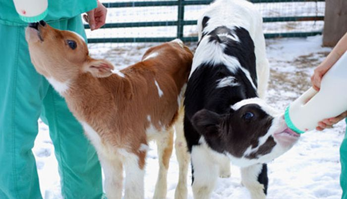 Как изменилась спасенная корова