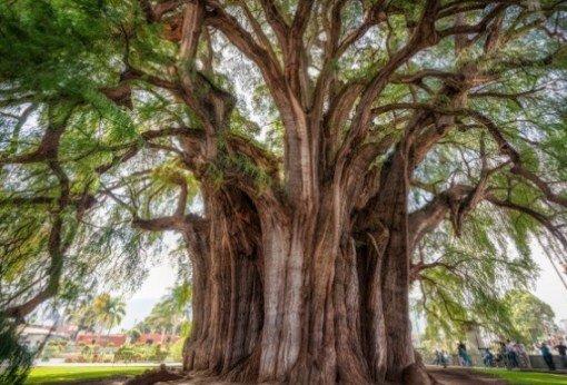 10 самых выдающихся деревьев-рекордсменов мира