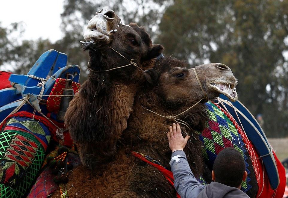 Бои верблюдов на ежегодном фестивале в Турции