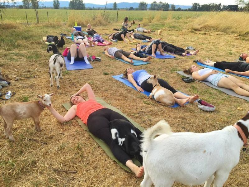 Козлиная йога вызвала ажиотаж среди американских женщин