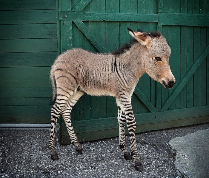 18 гибридных животных, куоторые роодились от разных животных