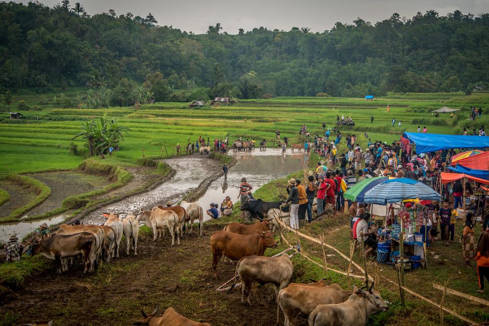Традиционная гонка на быках в Индонезии