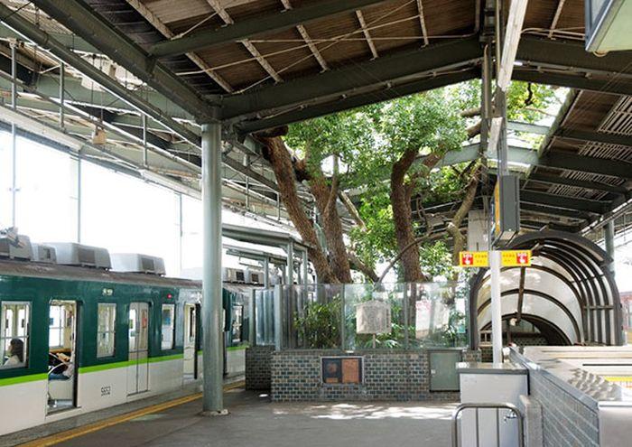700-летнее дерево посреди железнодорожной станции в Осаке