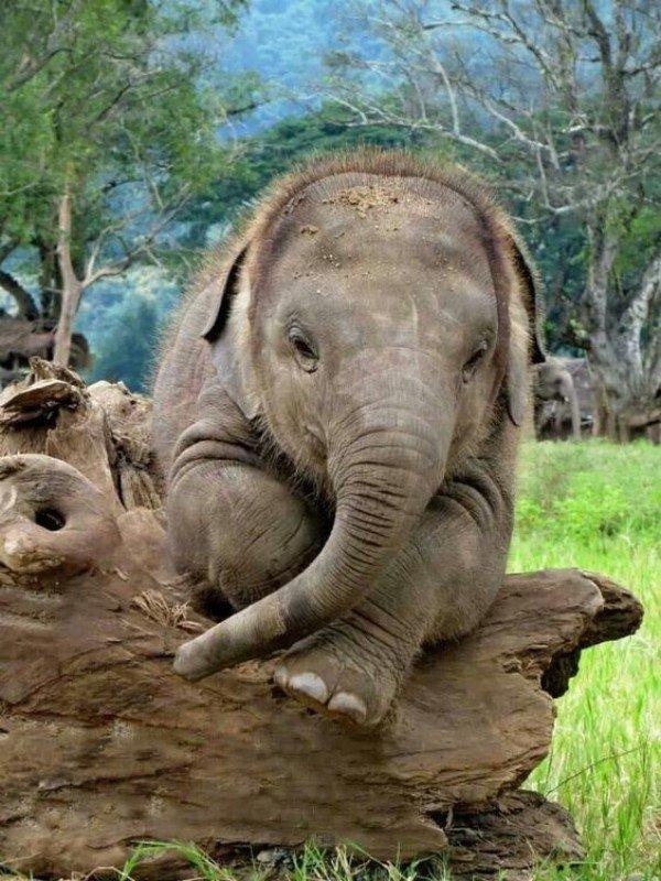 Фотоснимки и интересные факты о слонах