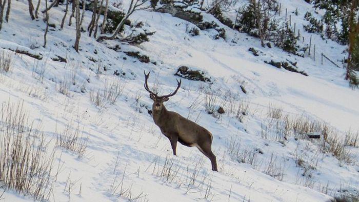 В Норвегии олень каждый день приходит в гости к спасителям