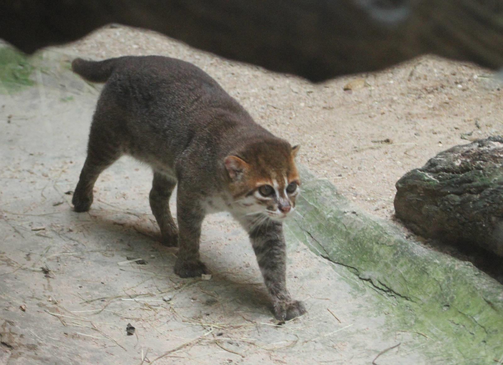 10 классных диких кошек, о которых мало кто знает