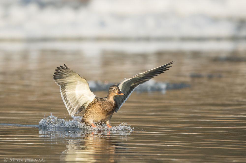 Дикие птицы: фотограф Марек Яцковский