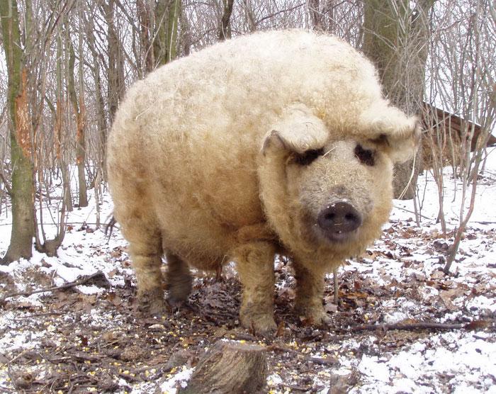 Свиньи, которые выглядят как овцы и ведут себя как собаки