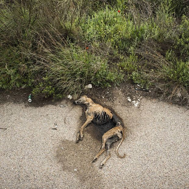 Жуткая судьба борзых после окончания сезона охоты в Испании