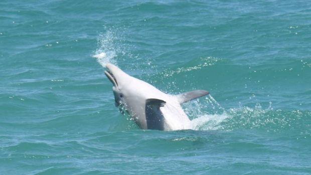Рыба фугу помогает прибалдеть австралийским дельфинам