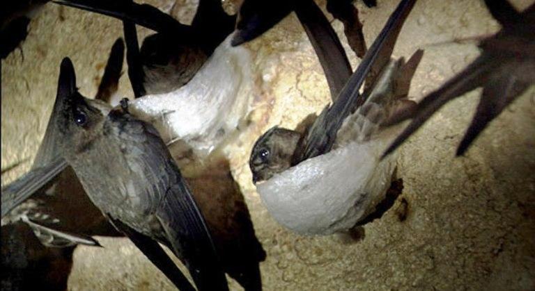 Как выращивают ласточкины гнезда за 3000$