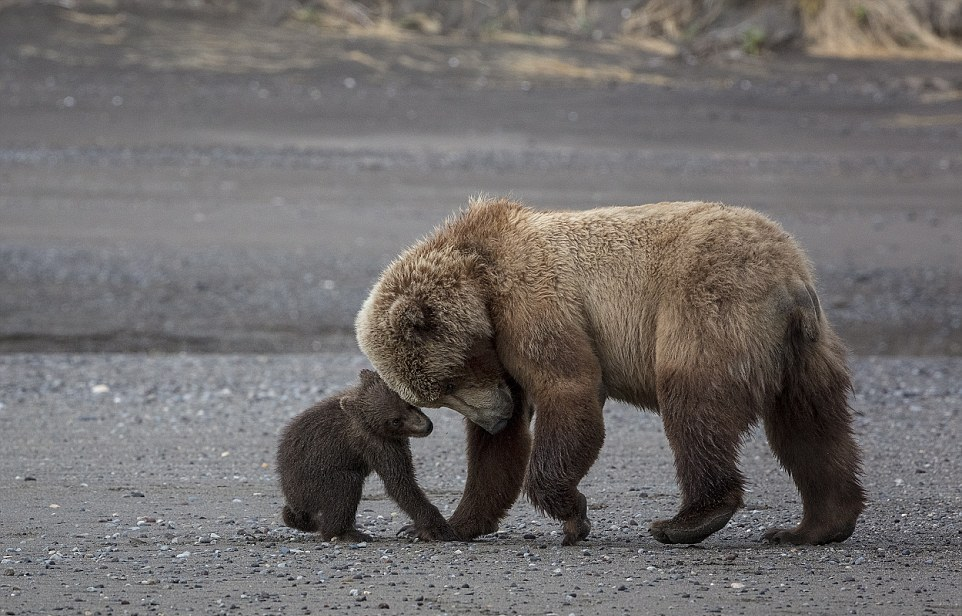 Мама-медведица со своими 4-месячными малышами