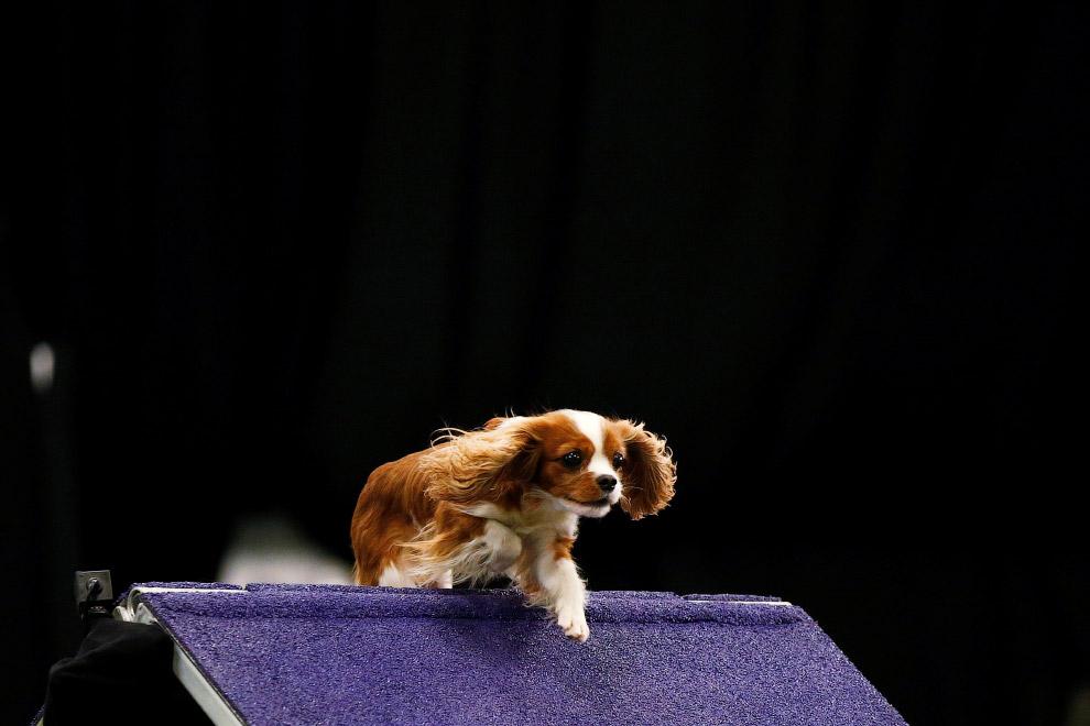 Выставка собак Westminster Kennel Club 2017