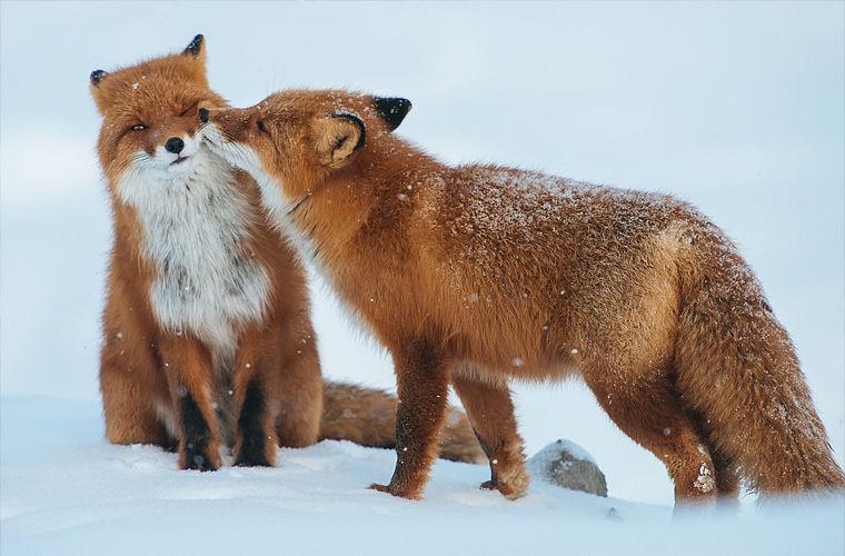 Необычные сексуальные ритуалы животных