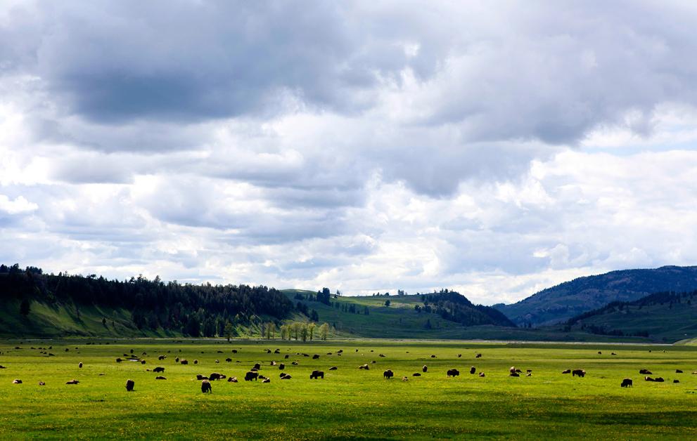 Гейзеры, бизоны и другие достопримечательности Йеллоустоуна