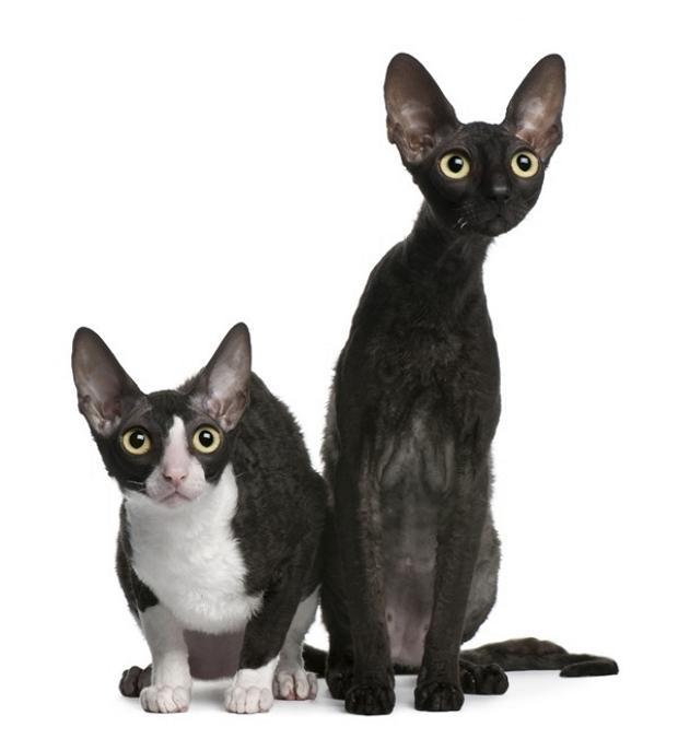 Редкие и необычные породы кошек